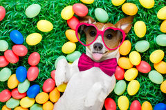 Easter bunny dog with eggs. Funny jack russell easter bunny dog with eggs around on grass sticking out tongue wearing sunglasses royalty free stock images