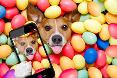 Easter bunny dog with eggs selfie. Funny jack russell easter bunny dog with eggs around on grass sticking out tongue taking a selfie with smartphone royalty free stock images