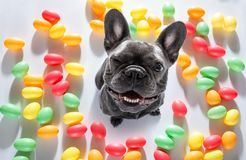 Easter bunny dog. Easter bunny french bulldog dog with  eggs isolated on white background for the holiday season royalty free stock photos