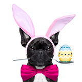 Easter bunny dog Stock Images