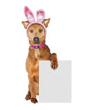 Easter Bunny Dog Holding Blank Sign Royalty Free Stock Image