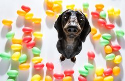 Easter bunny dog. Easter bunny sausage dachshund dog with  eggs isolated on white background for the holiday season royalty free stock photos