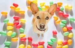 Easter bunny dog. Easter bunny sausage dachshund dog with  eggs isolated on white background for the holiday season royalty free stock image