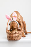 Easter bunny dog searching Stock Image