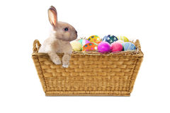Easter bunny with Easter eggs on studio Royalty Free Stock Image