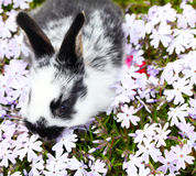 Easter Bunny. Egg hidden in the cushion phlox royalty free stock photo
