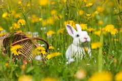 Easter bunny with Eggs in basket Royalty Free Stock Photography