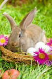 Easter bunny with eggs in basket Stock Image