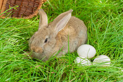 Easter bunny with eggs in basket Royalty Free Stock Images