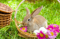 Easter bunny with eggs in basket Royalty Free Stock Image