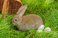 Easter bunny with eggs in basket Stock Photography