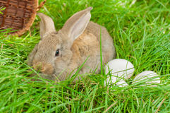 Easter bunny with eggs in basket Stock Images