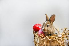 Easter bunny and Easter eggs on gray background / Little brown rabbit sitting in basket nest stock photography