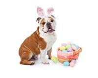 Easter Bunny English Bulldog Stock Photos