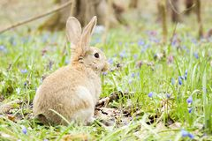 Easter Bunny on a flowering meadow. Hare in a clearing of blue flowers stock images