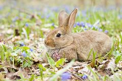 Easter Bunny on a flowering meadow. Hare in a clearing of blue flowers stock photo