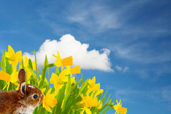 Easter bunny in front of daffodils Stock Photography