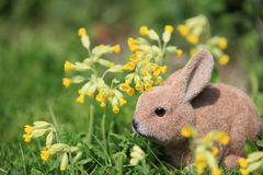 Easter bunny in the grass with cowslips (Primula veris) Royalty Free Stock Photography