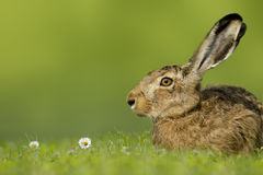 Easter bunny / hare sitting in meadow Stock Image