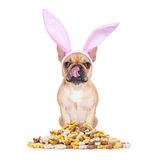 Easter bunny hungry dog Royalty Free Stock Photography