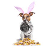 Easter bunny hungry dog Royalty Free Stock Image
