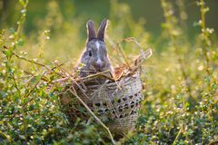 Easter bunny hunt easter egg on green grass royalty free stock photo