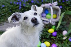 Easter Bunny Impersonator. White dog with big ears sitting in front of scattered easter eggs in the garden. Basket on it`s side with eggs spilling out of it in Royalty Free Stock Photos