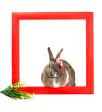 Easter bunny inside painted red wooden frame Royalty Free Stock Photography
