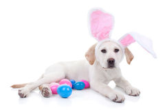 Easter Bunny. Labrador puppy dog with Easter eggs Royalty Free Stock Image