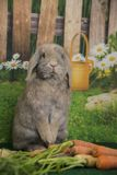 Easter bunny lop eared rabbit sitting up with farm carrots and blooming spring flowers. Brown Easter bunny lop eared rabbit sitting up with  farm carrots and Stock Photo