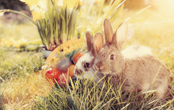 Easter bunny on meadow with basket and eggs Stock Photos