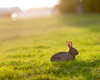 Easter Bunny in the Meadow. Straight from the camera back-lit shot of a bunny on a meadow Royalty Free Stock Photos