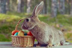 Easter bunny outdoor Stock Images