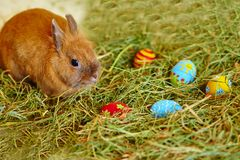 Easter bunny with painted eggs in hay royalty free stock photography