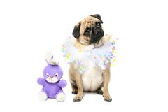 Easter Bunny & Pug. Closeup of a Fawn Pug wearing Easter collar and sitting with toy bunny. Isolated on white Royalty Free Stock Images