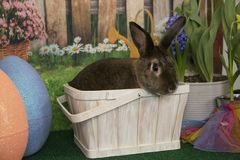 Easter bunny rabbit in basket with colored eggs and blooming spring flowers. Brown Easter bunny rabbit in basket with colored eggs and blooming spring flowers Stock Photos
