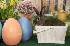 Easter bunny rabbit in basket with colored eggs and blooming spring flowers. Easter bunny rabbit in basket with large colored Easter eggs and blooming spring Royalty Free Stock Photos