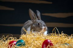 Easter bunny rabbit on the black background. Easter holiday concept. Cute rabbit in hay near dyed eggs.  Adorable baby rabbit.  Sp. Easter bunny rabbit on the royalty free stock photography