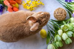 Easter Bunny Rabbit in rufus color surrounded by springtime flowers on wooden board, top down view. Easter Bunny Rabbit in rufus color surrounded by springtime Stock Image