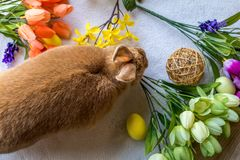 Easter Bunny Rabbit in rufus color surrounded by springtime flowers on wooden board, top down view. Easter Bunny Rabbit in rufus color surrounded by springtime Royalty Free Stock Images