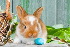 Easter Bunny rabbits with greens, basket and eggs on wooden background,. Copy space stock photos