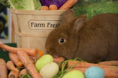 Easter bunny red Thrianta rabbit with farm fresh carrots and colored Easter eggs. Easter bunny red Thrianta rabbit with farm fresh carrots, lettuce, vegetables Stock Photography
