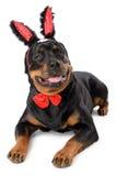 Easter bunny Rottweiler Stock Photos