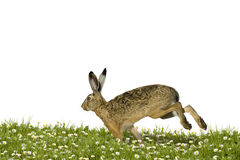 Easter bunny running Royalty Free Stock Image