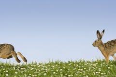 Easter bunny running Stock Photos