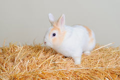 Easter bunny sitting in the hay. Easter bunny sitting in the hay Royalty Free Stock Image