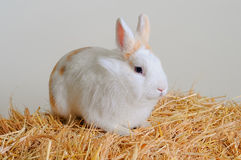Easter bunny sitting in the hay. Easter bunny sitting in the hay Royalty Free Stock Photos