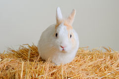 Easter bunny sitting in the hay. Easter bunny sitting in the hay Royalty Free Stock Images