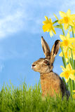 Easter bunny sitting in meadow with daffodils Royalty Free Stock Photos