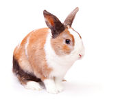 Easter bunny with a white fluffy fur. Easter bunny with a white fluffy wool with ginger spots  on white background Royalty Free Stock Photo